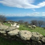 Sheep grazing with a view to the Aegean Sea