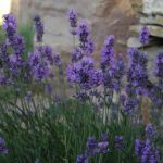 Lavender gives a beautiful scent to the garden of the farmhouse